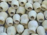 Glockeneukalyptus gebleicht am Draht 100 Stück